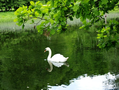 arched neck: White mute swan swimming in a pond