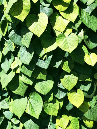 nervation: Background of ivy leaves with detailed ribs