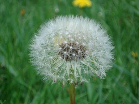 pubescent: dandelion