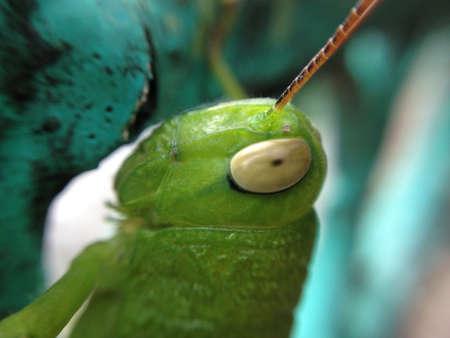 eye: grasshopper Stock Photo