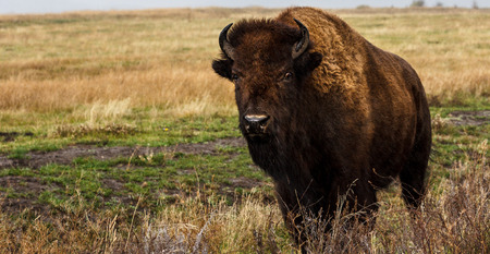 A lone bison, or American Buffalo, grazes in a field during a rain storm. Standard-Bild