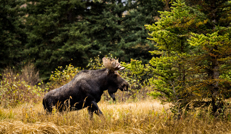 Moose climbing out of river into meadow