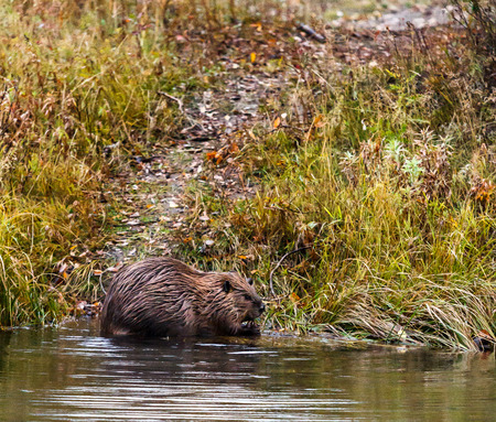 Beaver eating while on edge of pond
