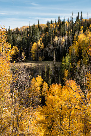 A forest of pine and aspen groves in the alpine mountains showing autumn seasonal color changes