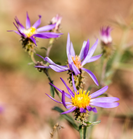 Purple wild flowers with yellow center bloom in an alpine meadow during fall color changes