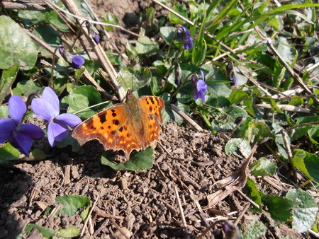 violets: Butterfly and violets