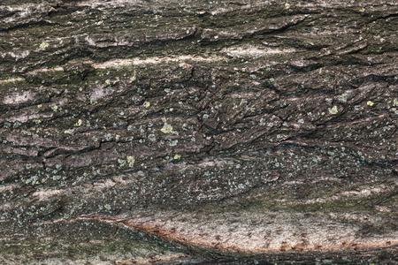 arbol alamo: hi-re álamo textura de la corteza Foto de archivo