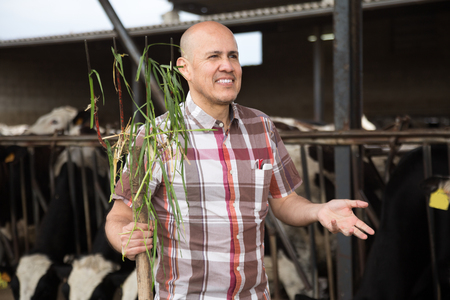 bald senior worker posing with pitchfork in cows barn