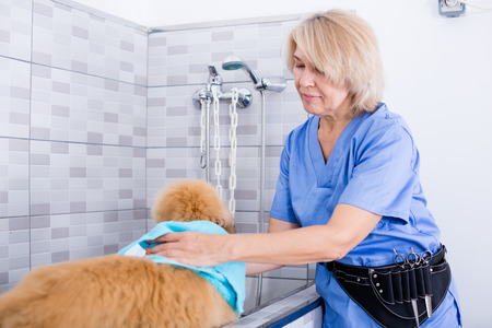 woman hairdresser wipes puppy of Afghan hound in hairdresser for dogs Stock Photo