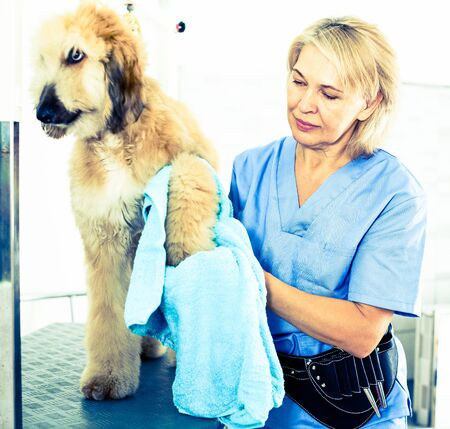 woman hairdresser wipes puppy of Afghan hound in hairdresser for dogs Фото со стока