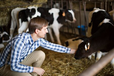 man technician working with milky cows in cowhouse outdoors