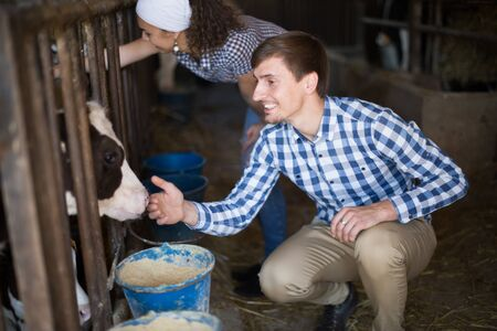 young technician workers with cows in cowhouse