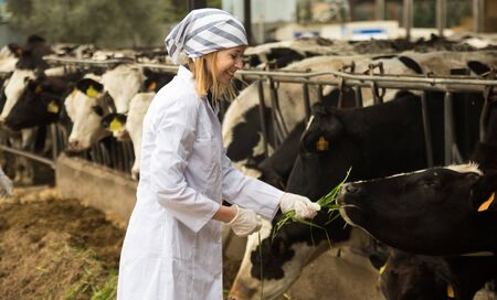 Portrait of smiling Young vet feeding cows in cowhouse outdoors