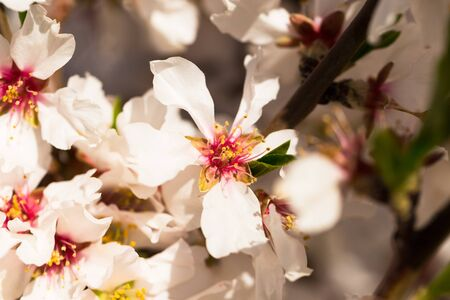 beautiful blooming peach trees in spring