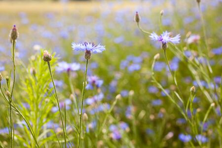 Summer landscape with bright blooming cornflowers in the field