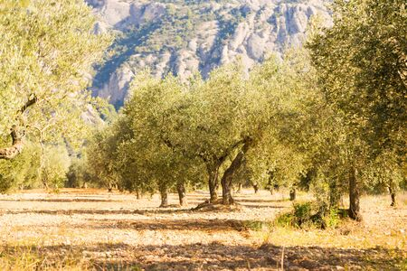 olive garden in harvest season against the backdrop of mountains