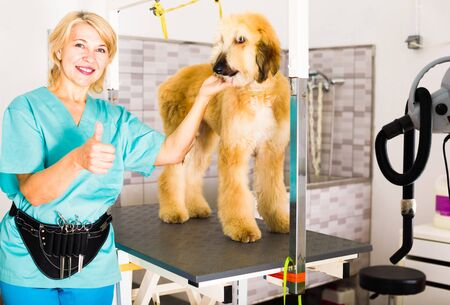 Professional woman hairdresser posing with Afghan puppy Shepherd in beauty salon for animals Imagens