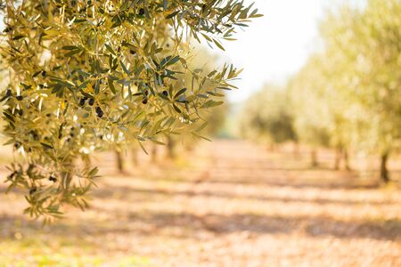 olive garden in harvest season