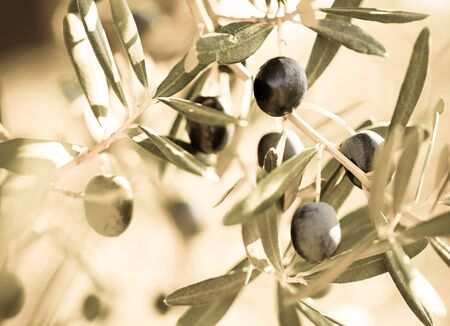 black olives on tree branches in grove Imagens