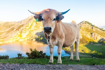 Asturian Mountain cattle cow sits on the lawn in a national park at sunset