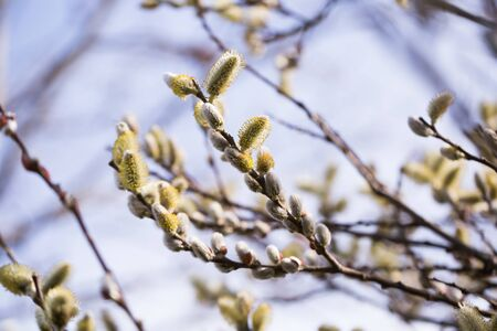 fluffy shoots on willow branches in spring Archivio Fotografico