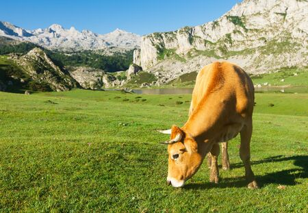 Asturian Mountain cattle cow sits on the lawn in a national park among the mountains Stock Photo