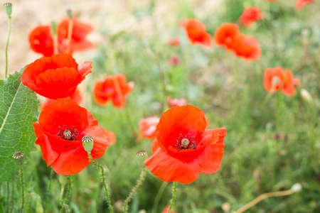 close up of a red poppy flower in field Standard-Bild