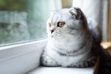 cute gray striped scottish fold kitten on windowsill
