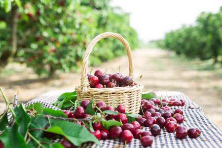 ripe juicy cherries in wicker basket in cherry garden Standard-Bild
