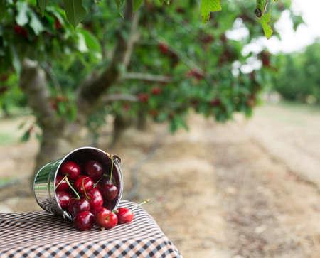 still life of cherries in a basket in the garden