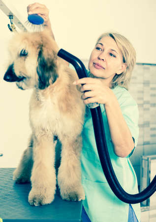 woman hairdresser professional dries hair by fen dog fur Afghan hound dog in hairdresser for animal