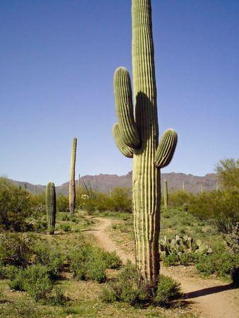 Arizona desert Saguaro cacti with path Banco de Imagens - 6699833