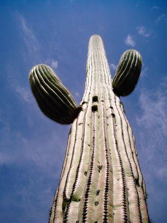 Arizona desert Saguaro cactus reaching to the sky                   Imagens