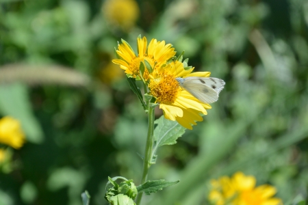 Yellow Sunflowers, white butterfly, stock photo,  photo