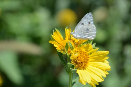 Yellow Sunflowers, close up of white butterfly, stock photo, photo