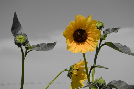 Yellow Sunflowers, stock photo, color selective, black and white background, photo