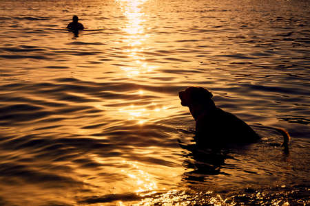 silhouette of a loyal dog in the sea looking behind its owner at the golden hour