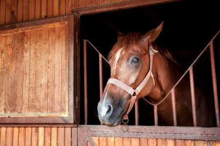 closeup portrait of a beautiful horse posing behind the stable door