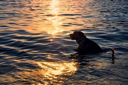 silhouette of a beautiful dog in the glittering water of the sea at the golden hour