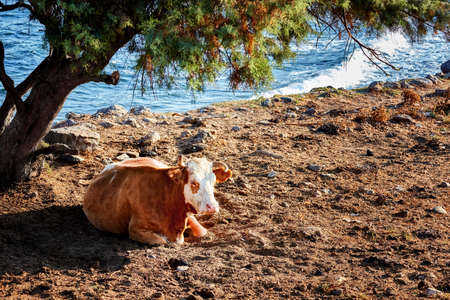 A beautiful and healthy white-brown cow sitting and resting under a tree on a dirt-surface near the seaside in a rural area. 免版税图像
