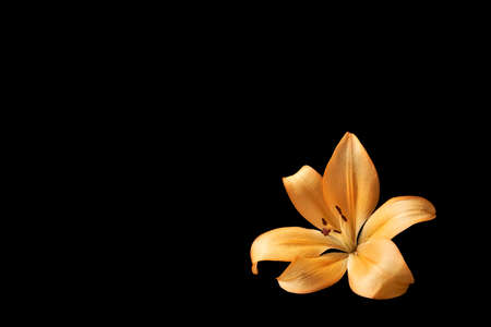 Orange lily flower on isolated black background with copyspace for text