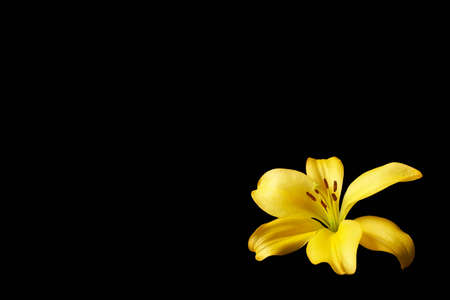 Yellow lily flower on isolated black background with copyspace for text Foto de archivo