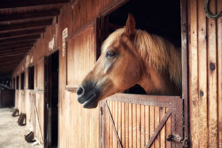 Profile portrait of a beautiful young horse posing from a wooden barn window