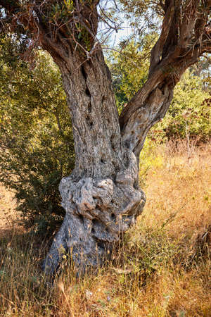Old olive tree surruonded by bushes in a field