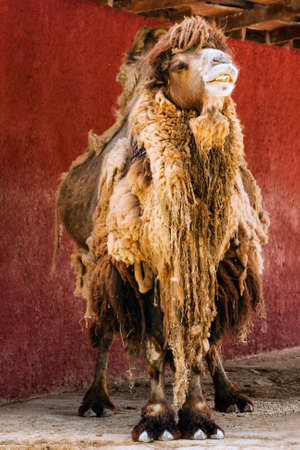 Long haired smiling camel portrait standing in front of a red wall