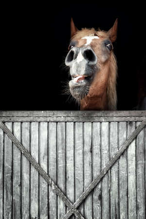 Portrait of a horse with a funny, restless and anxious expression behind a wooden barn gate