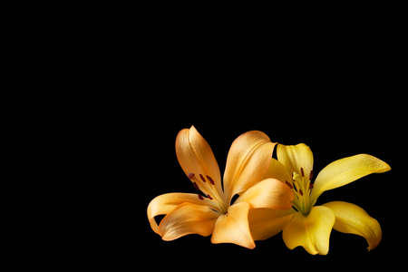 Orange and yellow lily flowers on isolated black background with copyspace for text