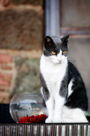 Beautiful black and white furry cat with a tense look sitting near a fishbowl