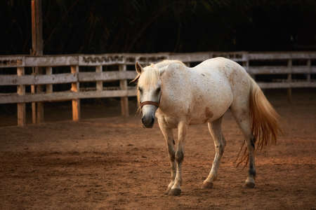 White pony posing on the sands of an outdoor manage in front of the wooden fences