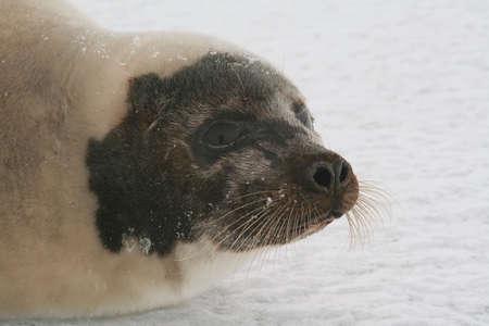Seal hunt photo